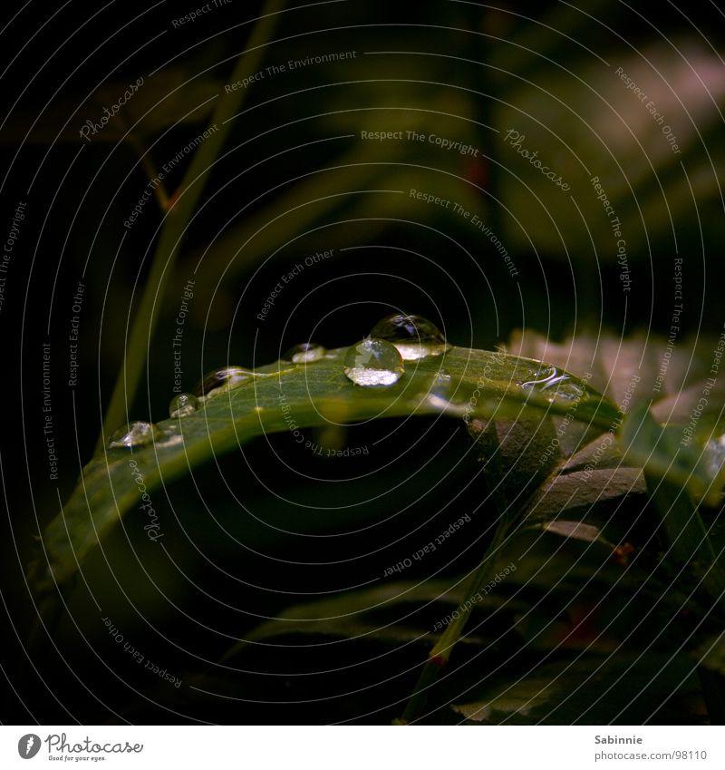 Immer nur Regen Wassertropfen Blatt grün dunkel nass feucht Außenaufnahme Makroaufnahme Nahaufnahme Garten rain raindrops pearls garden dark humid