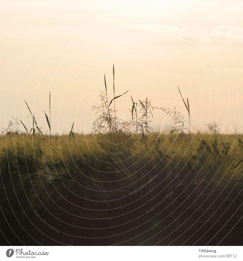 Feldquerschnitt Himmel Natur rot Sommer Umwelt Gras träumen Stimmung Landwirtschaft zart Getreide Ernte Amerika Halm Sachsen