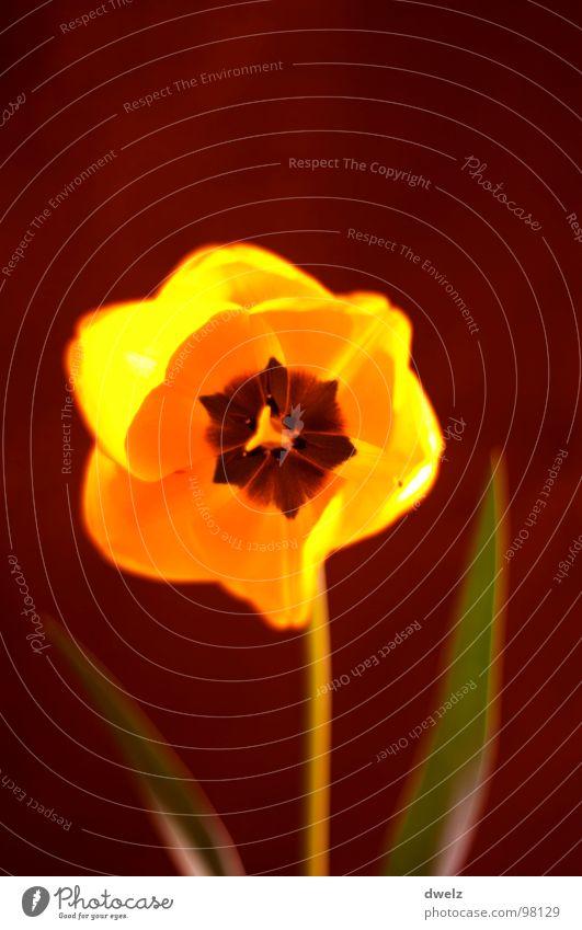 Tulpe Natur Blume gelb Blüte Botanik