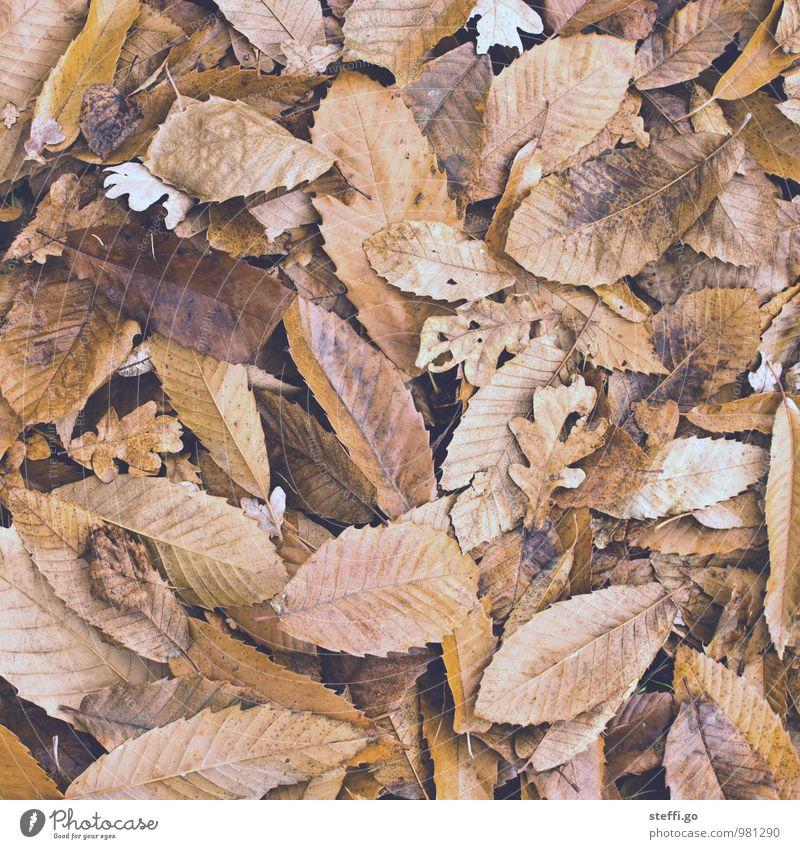 Herbstlaub Ausflug Abenteuer Pflanze Blatt Park Wald alt braun Herbstfärbung herbstlich Herbstwald welk Waldboden Blattadern Buchenblatt verrotten Linie