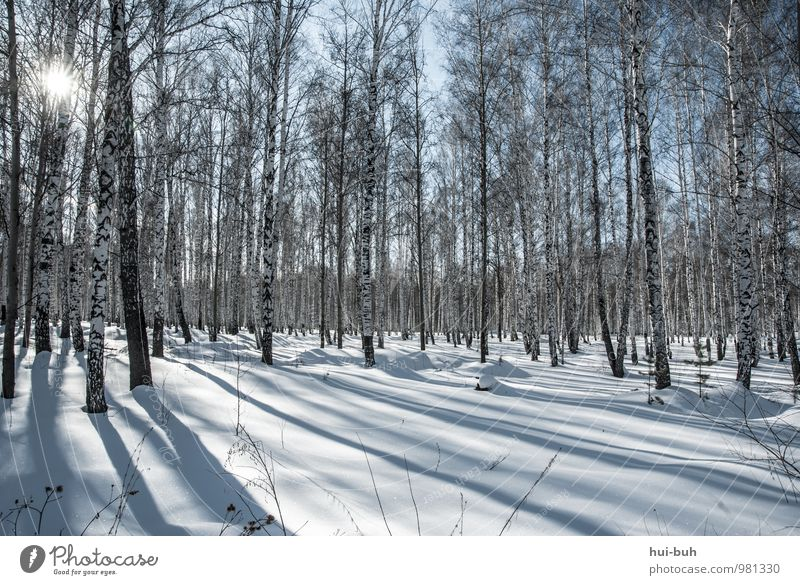 Birches Schönes Wetter Schnee Wiese Wald ästhetisch kalt Birkenwald Winter Schneelandschaft Schneefall Sonnenstrahlen Schattenspiel schön Idylle ruhig