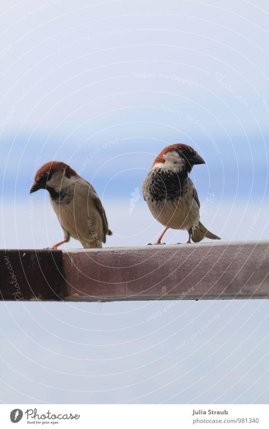 ich nee du blau rot Tier braun Vogel Wildtier Tierpaar Flügel Kommunizieren frech Scham Liebesaffäre Haussperling