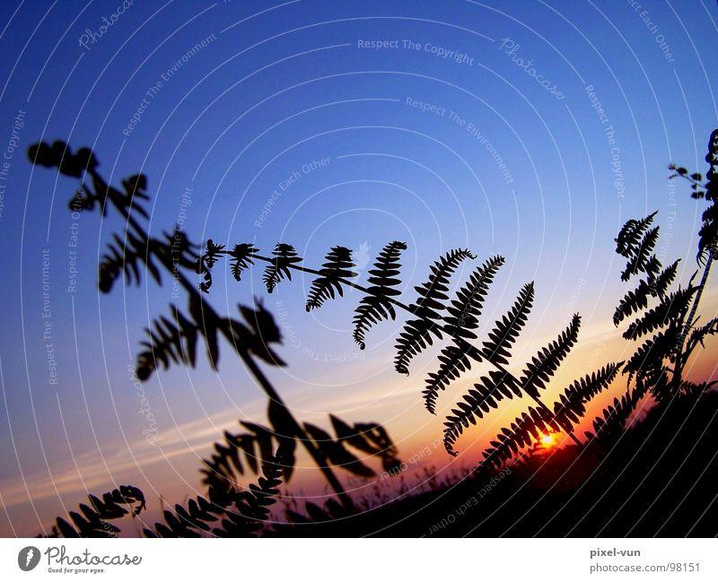 Silhouette Farn grün Farnblatt Sporen Sporenpflanze Pflanze Waldpflanze Bodendecker schwarz typisch Außenaufnahme mehrfarbig Landschaft Jahreszeiten Sommer Park