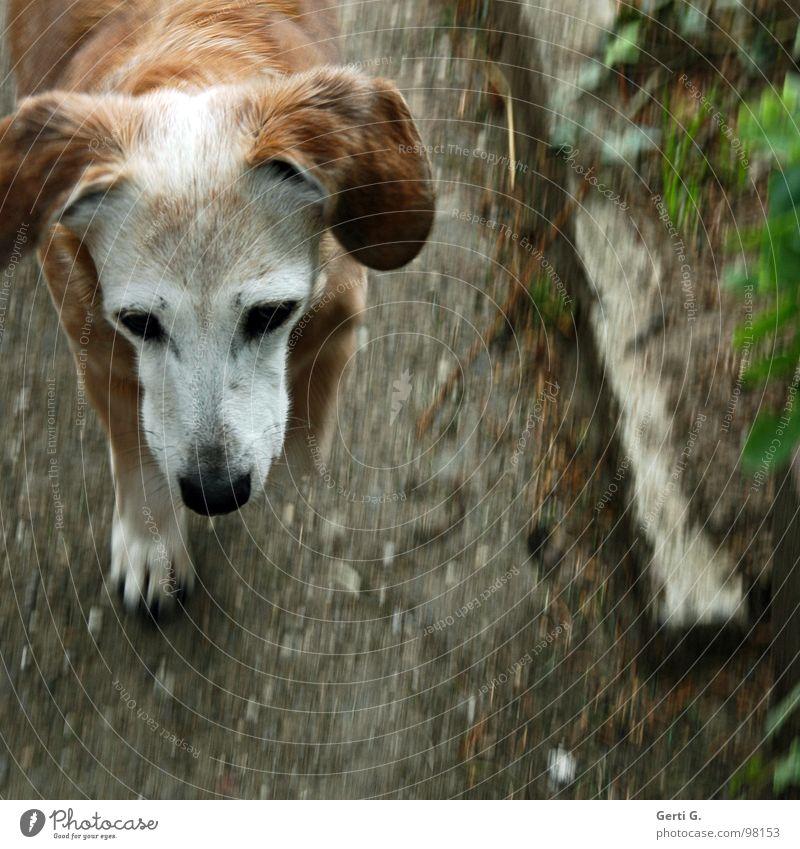 I'm walking Hängeohr Hund Dackel Mischling grau braun Gartenweg gehen Pfote Bewegungsunschärfe Gras Asphalt Trauer Tier Vergänglichkeit Verzweiflung kora