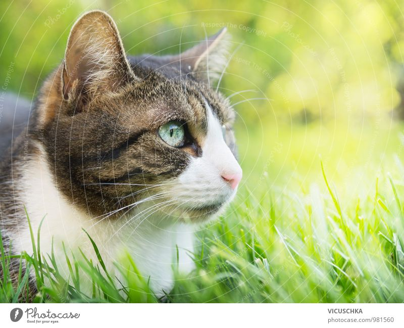 Graue Katze mit weißem Gesicht im Sommergarten Natur Pflanze Tier Wiese Gras Frühling Garten Park Feld sitzen frei weich Schönes Wetter Rasen