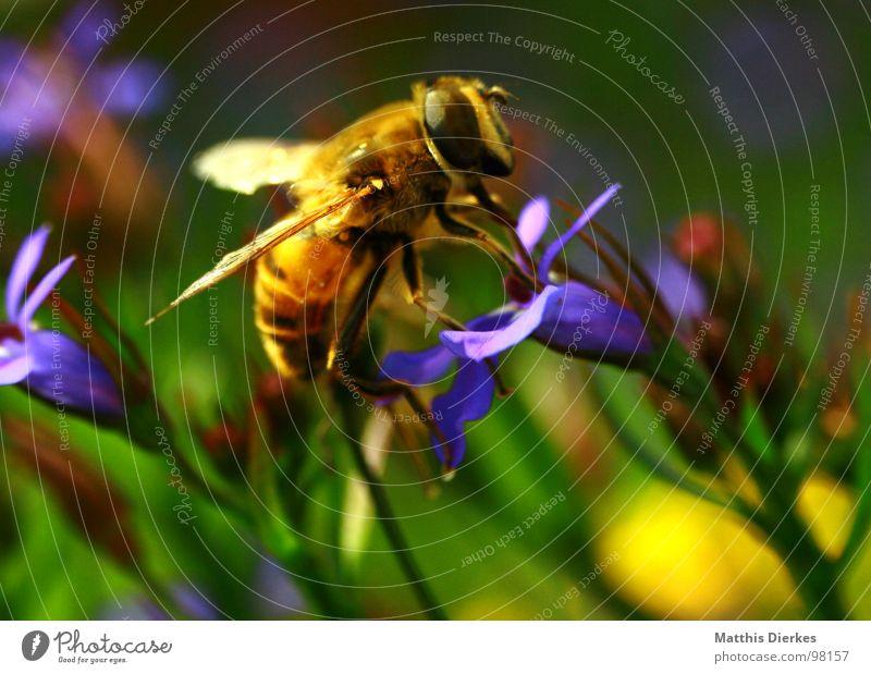 LANDUNG Biene Insekt Wespen Hornissen Ekel Tier trinken Ernährung genießen Blume Blumenkasten Balkon Pflanze Fortpflanzung verbreiten gelb Vielfältig stechen