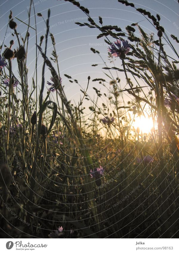 sommerendzeitstimmung Natur Pflanze Sonne Sommer Blume Wiese Gras Feld Ende Blumenwiese Kornblume