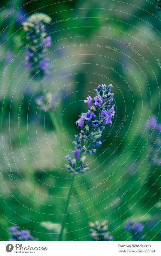 Deep Purple Pflanze Blattgrün Stengel fruchtig saftig vitaminreich Sommer Frühling giftgrün violett Grünpflanze Garten Wachstum Jahreszeiten weich nass Physik