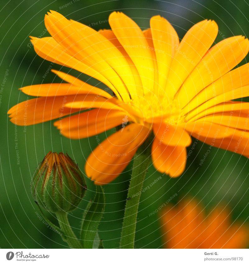 goldmari grün Pflanze Blume Farbe gelb Blüte orange verrückt Kosmetik Creme Korbblütengewächs Heilpflanzen Ringelblume Tagetes Schneckenabwehr