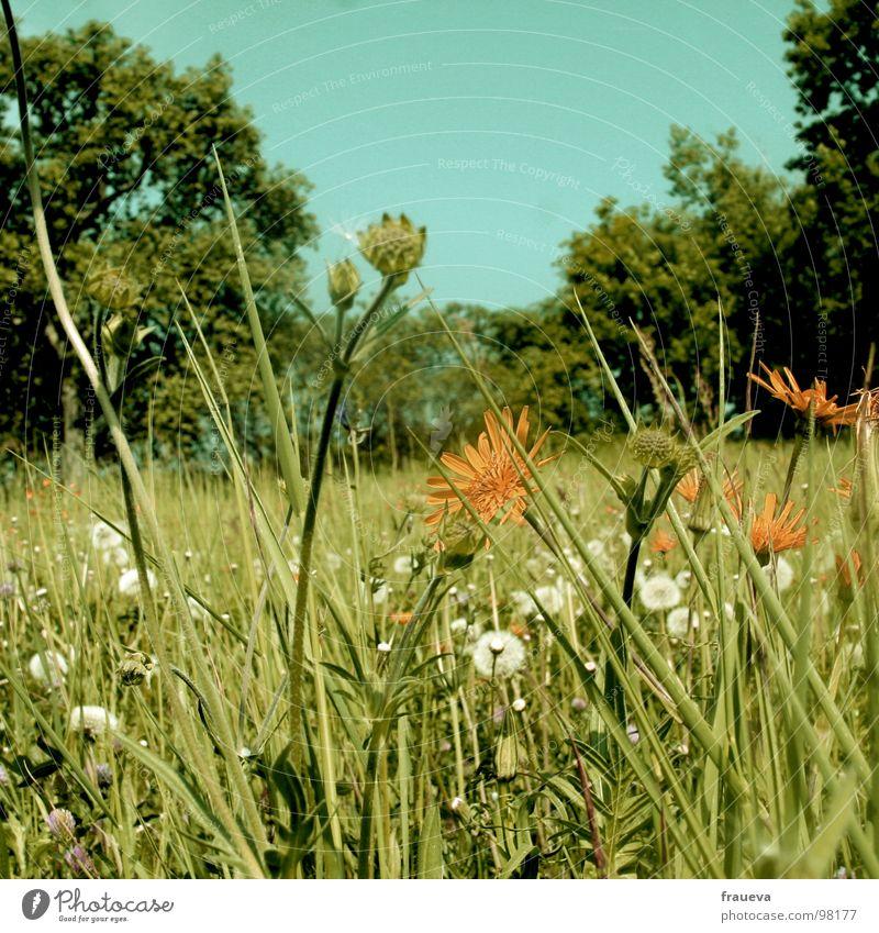 im gras liegen Natur Himmel Blume grün Sommer ruhig gelb Farbe Wiese Gras Österreich sommerlich vergilbt Waldrand