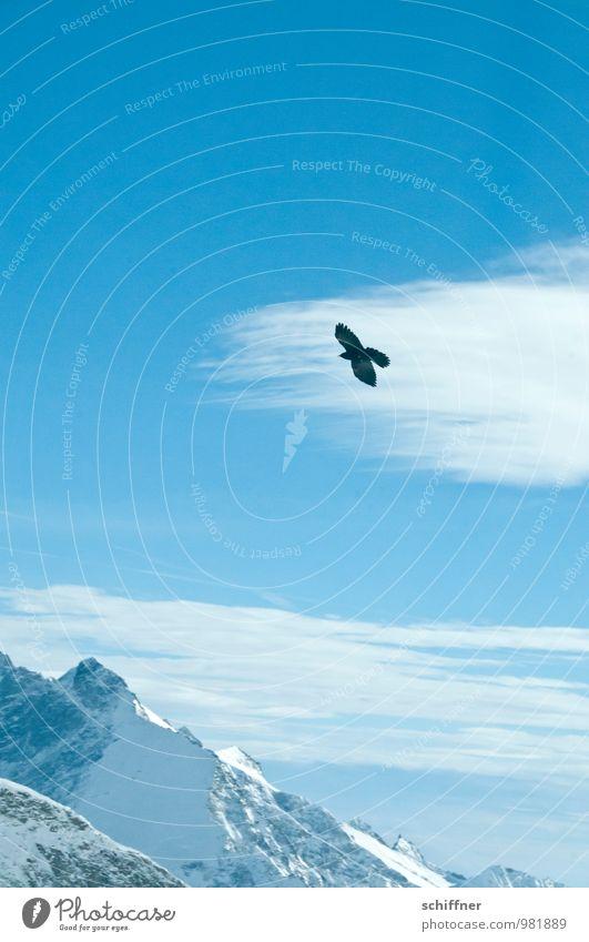 Eisvogel Natur Himmel Wolken Klimawandel Schönes Wetter Frost Schnee Felsen Alpen Berge u. Gebirge Gipfel Schneebedeckte Gipfel Gletscher Tier Vogel 1 fliegen
