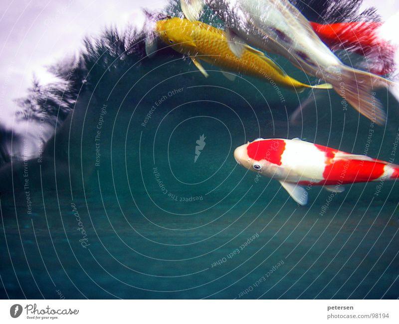 Schwimmende Geldanlage 2 Koi Teich gelb mehrfarbig rot Japan Fisch Wasser Karpfen Nishikigoi Punkt Schwimmen & Baden