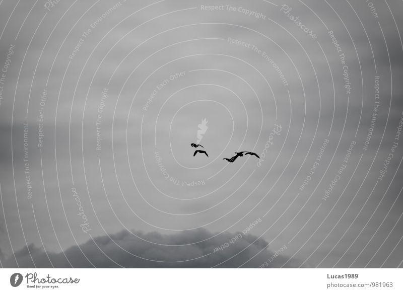 Frei durch die Wolken Natur Tier Wildtier Vogel Vogelschwarm Vogelflug Wildgans Ente Wildvogel Tiergruppe Schwarm fliegen Ferien & Urlaub & Reisen grau schwarz