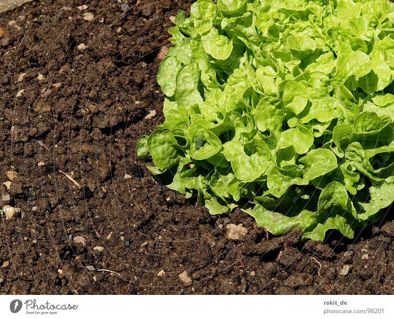 Eßt mehr Salat... grün Gesundheit Vitamin Schnecke anbiedern Feld Gemüse Bodenbelag Erde kreichen grüner salat Garten Ernährung Landwirtschaft