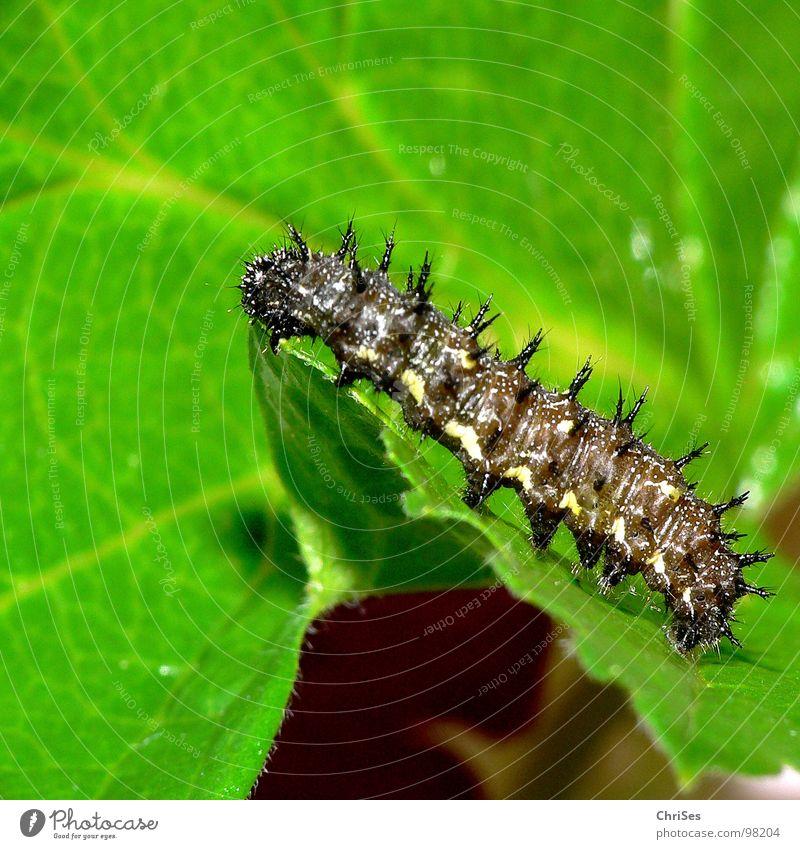 Raupe des Landkärtchen_Araschnia_levana grün Sommer schwarz Tier Frühling Insekt Schmetterling krabbeln stachelig Stachel stechen Nordwalde