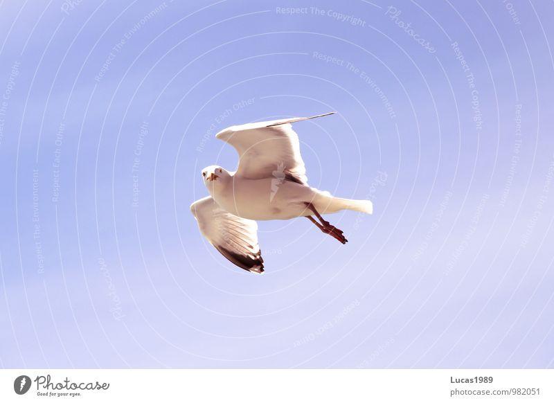Möwe beobachtet mich Natur Tier Sonne Schönes Wetter Himmel Möwenvögel Vogel 1 beobachten fliegen blau weiß Freiheit Luftverkehr Farbfoto Außenaufnahme
