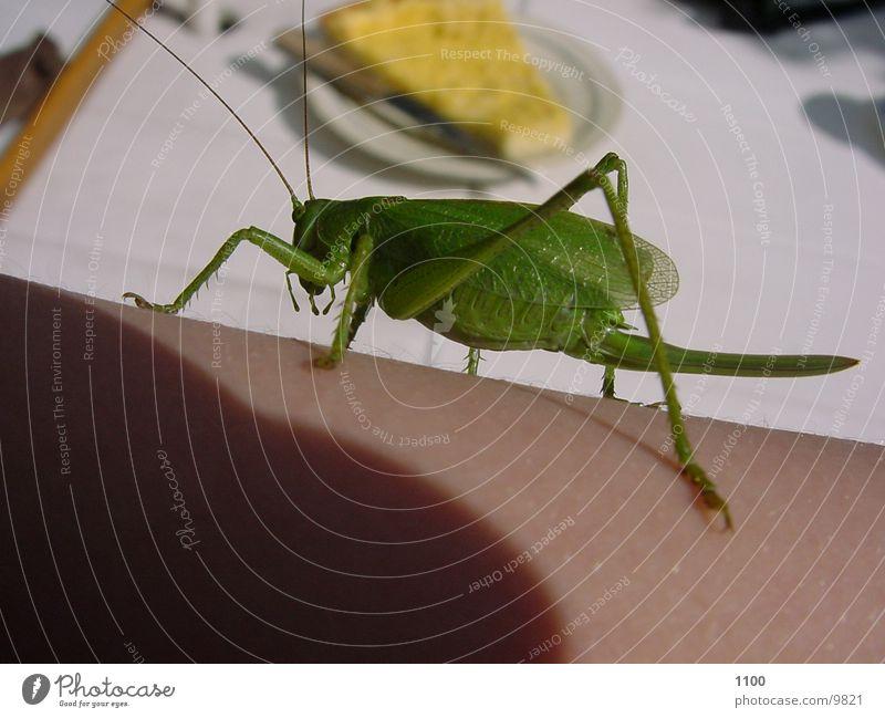 Heuschrecke, Insekt Rückansicht Makroaufnahme