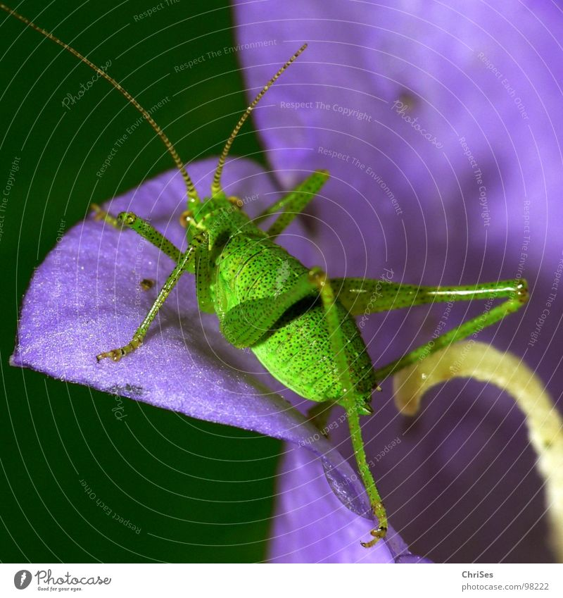 Punktierte Zartschrecke_04 grün Sommer Tier springen Blüte Beine violett Insekt Lebewesen Fühler hüpfen Blume Blütenblatt Heuschrecke Nordwalde Heimchen