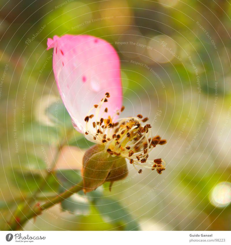 Das letzte Blütenblatt Rose Blume Frühling Herbst Nahaufnahme Pflanze Blütenknospen