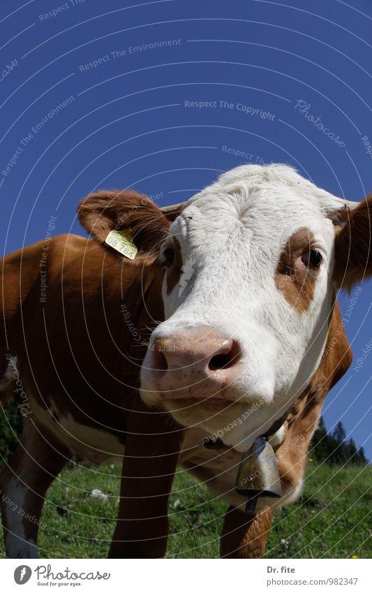 Lotte Natur Sommer Schönes Wetter Gras Berge u. Gebirge Tier Nutztier Kuh 1 Fressen blau braun grün weiß Gelassenheit Farbfoto Außenaufnahme Textfreiraum oben