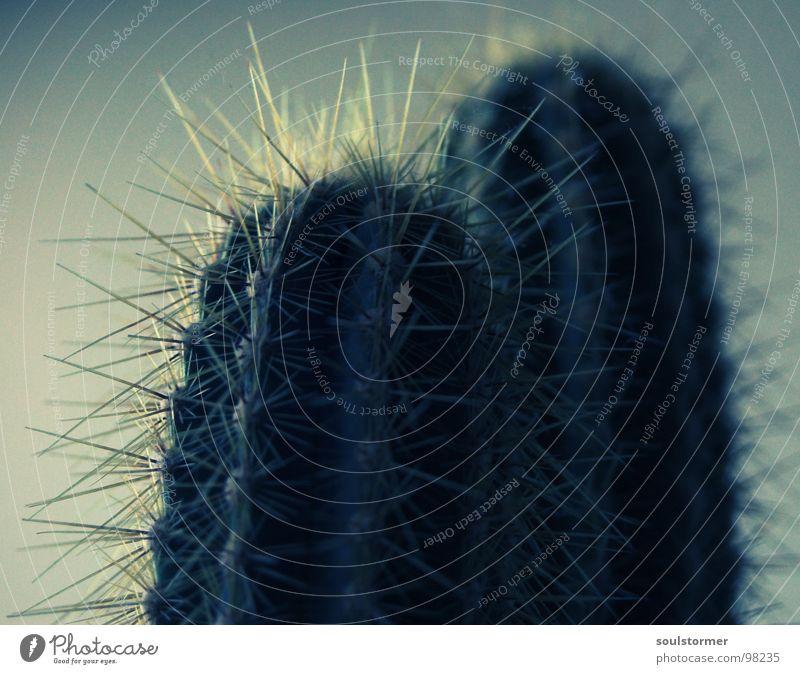 Kaktus mal anders Blume grün Pflanze Wüste Schmerz Lichtspiel Kaktus Stachel wehtun