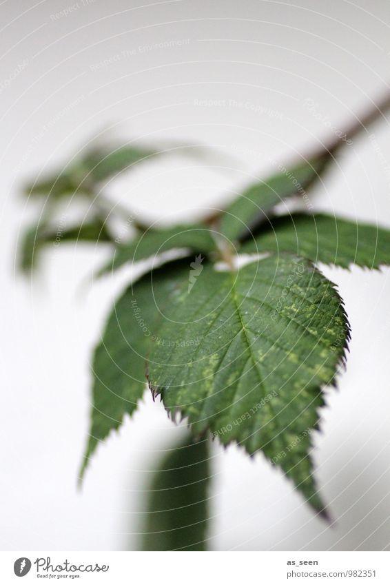 Brombeerblätter Frucht Brombeeren Alternativmedizin Garten Natur Pflanze Blatt Brombeerbusch hängen Wachstum authentisch einfach natürlich Spitze stachelig grün