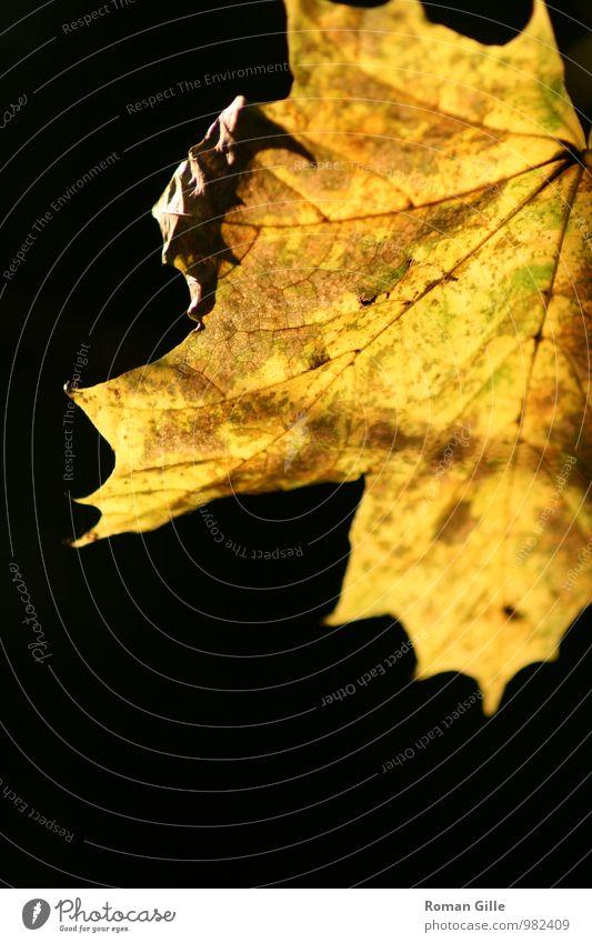 Herbstblatt Natur Pflanze Blatt schwarz gelb braun