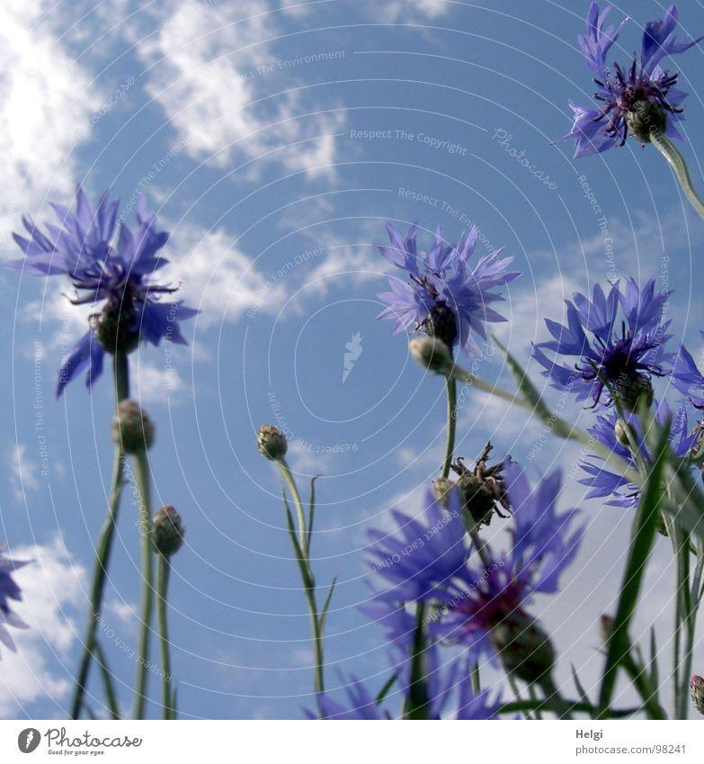 Blüten und Knospen von Kornblumen vor blauem Himmel mit Wolken Blume Blütenblatt Stengel weiß Feld Straßenrand Sommer Juli Blühend stehen Vergänglichkeit