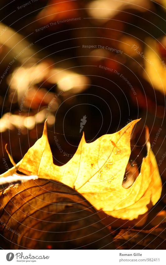 Herbstblatt Natur Pflanze schön Einsamkeit Blatt ruhig Glück einzigartig retro Romantik Gelassenheit Vorsicht geduldig Weisheit