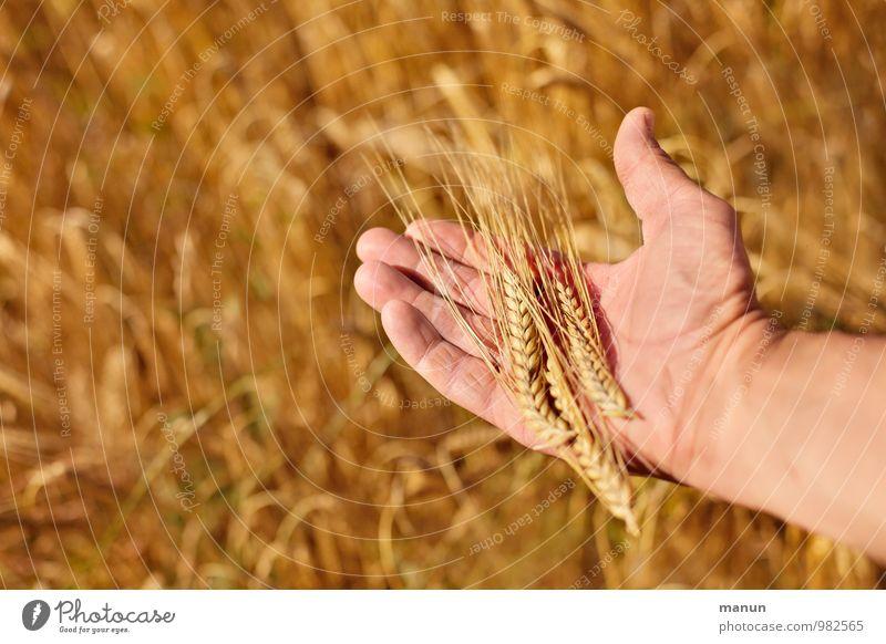 noch'n Korn Mensch Pflanze Sommer Hand natürlich Gesundheit Lebensmittel maskulin Feld Wachstum authentisch Ernährung Finger Landwirtschaft Küche Beruf