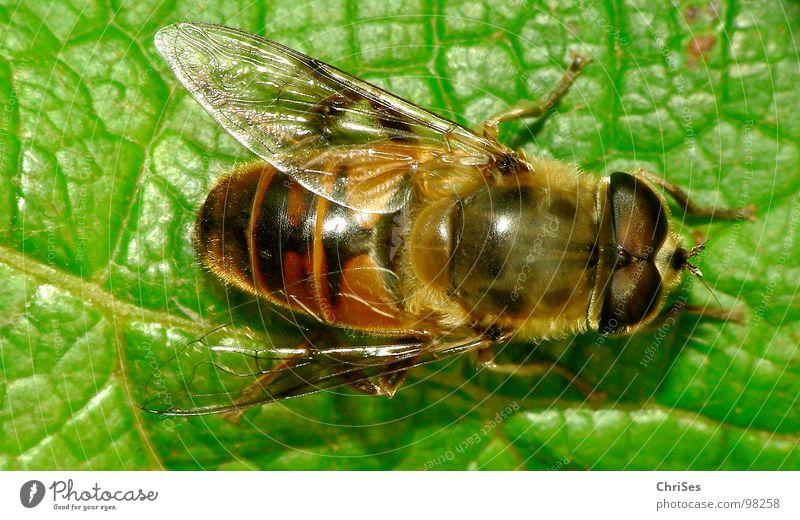 Grosse Schwebfliege 05 Wespen Schweben gelb schwarz grün Insekt Tier Sommer Gliederfüßer Zweiflügler Biene Vogelperspektive Nordwalde Makroaufnahme Nahaufnahme