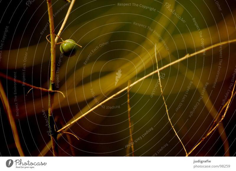 Frucht Umwelt Wachstum gedeihen rund Sommer schön Einsamkeit Sträucher Pflanze Farbe Zweig Natur Kugel Linie