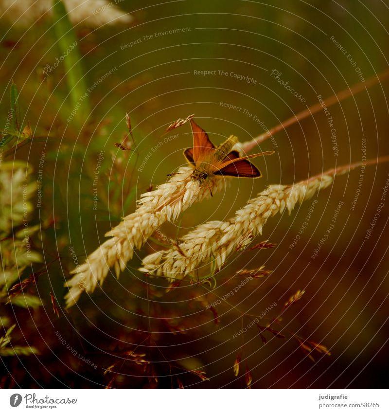 Gras grün Stengel Halm Ähren glänzend schön weich Rauschen Wiese zart beweglich sensibel federartig Schmetterling Insekt Fluginsekt Pflanze Tier Farbe Pollen