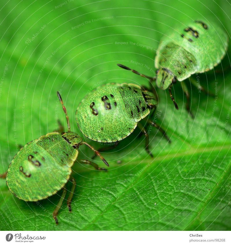 Larven der grünen Stinkwanze 03 Grüne Stinkwanze Wanze Insekt Tier Nordwalde Makroaufnahme Nahaufnahme Sommer Palomena prasina Pflanzensaftsauger Geruch ChriSes