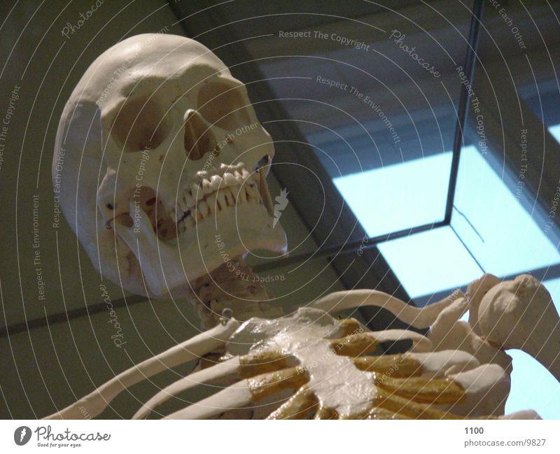 Skelett Skelett Schädel