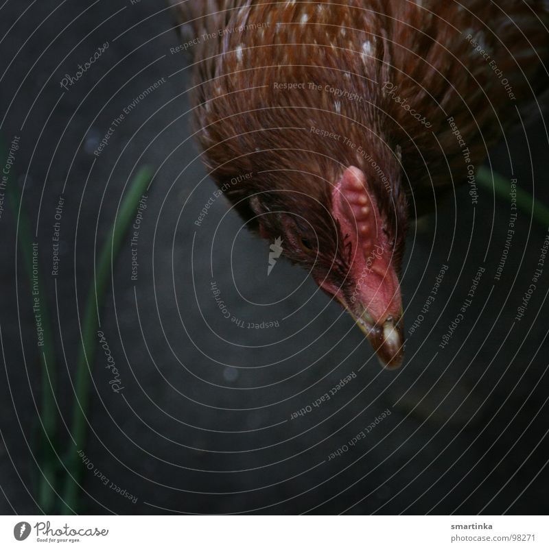 Korn oder Gras? Vogel Bauernhof Haustier Haushuhn Tier