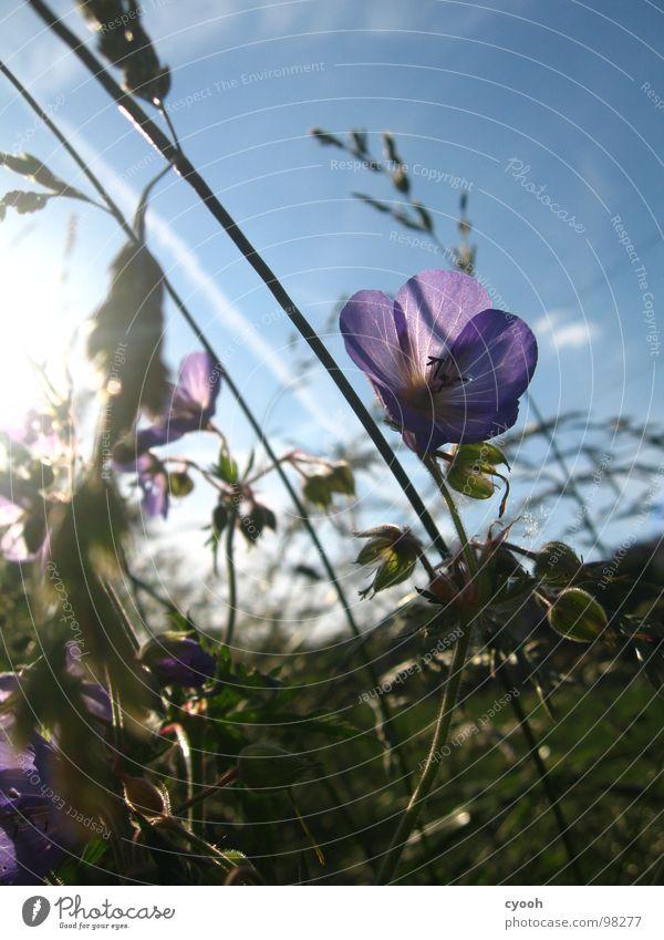 Wiesen-Storchschnabel Blume Gras Wiesenblume Sommer violett Blüte Abenddämmerung Physik schön Licht Makroaufnahme Nahaufnahme Storchenschnabel Himmel Sonne blau