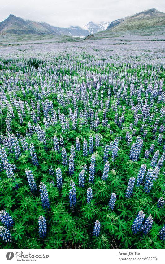 Lupinen Overdose (Island) Ferien & Urlaub & Reisen Tourismus Ausflug Abenteuer Ferne Berge u. Gebirge Natur Landschaft Pflanze Urelemente Himmel Nutzpflanze