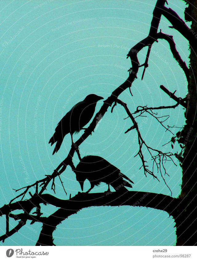 crehe Himmel Baum blau schwarz Vogel Tierpaar paarweise Ast