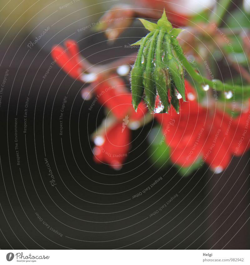 Sommerblümchen... Umwelt Natur Pflanze Wassertropfen Regen Blume Blüte Blütenknospen Pelargonie Garten Blühend glänzend hängen Wachstum ästhetisch authentisch
