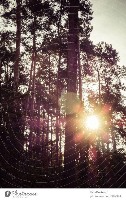 bling Umwelt Natur Landschaft Pflanze Himmel Sonne Sonnenlicht Sommer Herbst Baum Kiefer Wald Holz Linie leuchten natürlich schwarz Farbfoto Gedeckte Farben