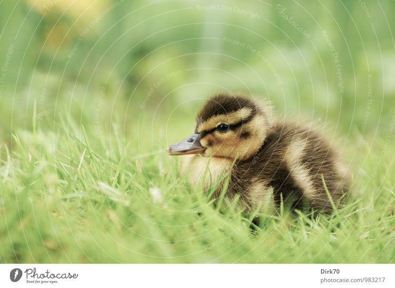Allein im Gras Natur Tier Pflanze Grünpflanze Wiese Wildtier Vogel Ente Stockente Küken Entenküken 1 Tierjunges sitzen Wachstum Freundlichkeit kuschlig klein