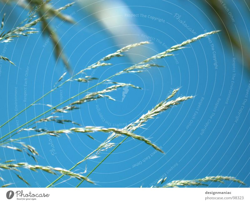 Eine Frage der Ähre Himmel Natur blau Gras Feld Wind gold frei verrückt rein Korn Schönes Wetter Halm Kornfeld ökologisch Bioprodukte