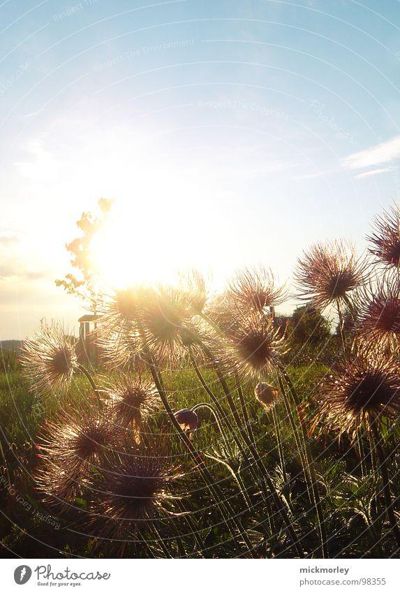 stachelblumen in der güldenen sonne Himmel blau grün Sommer Sonne Blume rot Wolken Wärme Leben Wiese Garten Feld frisch Sträucher Fröhlichkeit
