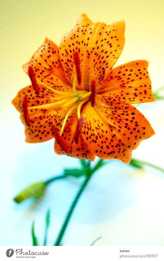 Lilientraum Blume rot Makroaufnahme Nahaufnahme Farbe orange Flower Punkt