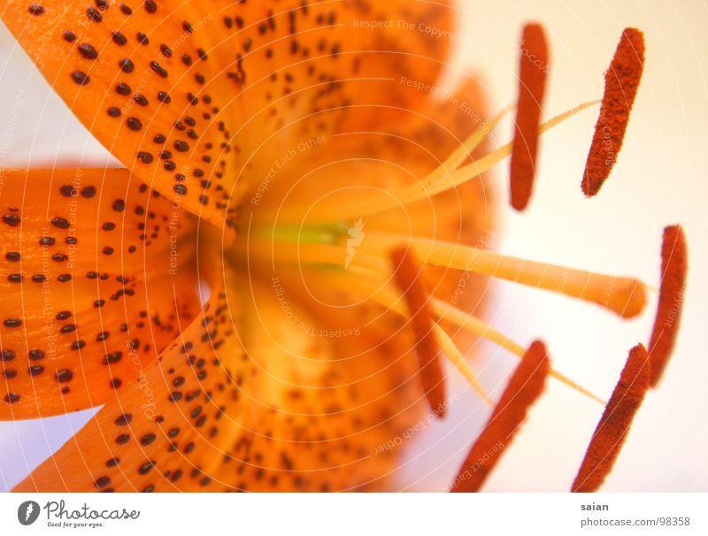 Lilie Natur Blume grün Pflanze rot Farbe Gefühle Spielen Gras orange rosa elegant Wachstum Rasen weich Punkt