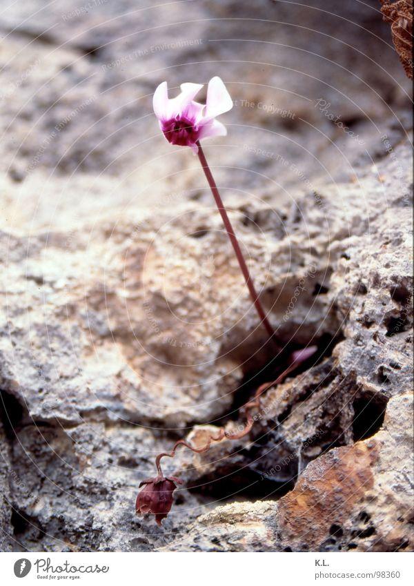 Mauerblümchen Natur weiß Blume Pflanze rot Farbe Leben Tod Blüte Berge u. Gebirge grau Stein Kraft rosa Felsen Vergänglichkeit