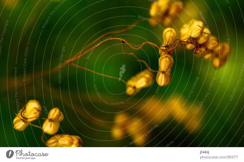 Zittergras Gras Pflanze Wachstum gedeihen grün Unschärfe Ähren trocken Ziergras Süßgras Feld Wiese Kultur Lebewesen herzförmig schmal Oval Stengel Blüte Wellen