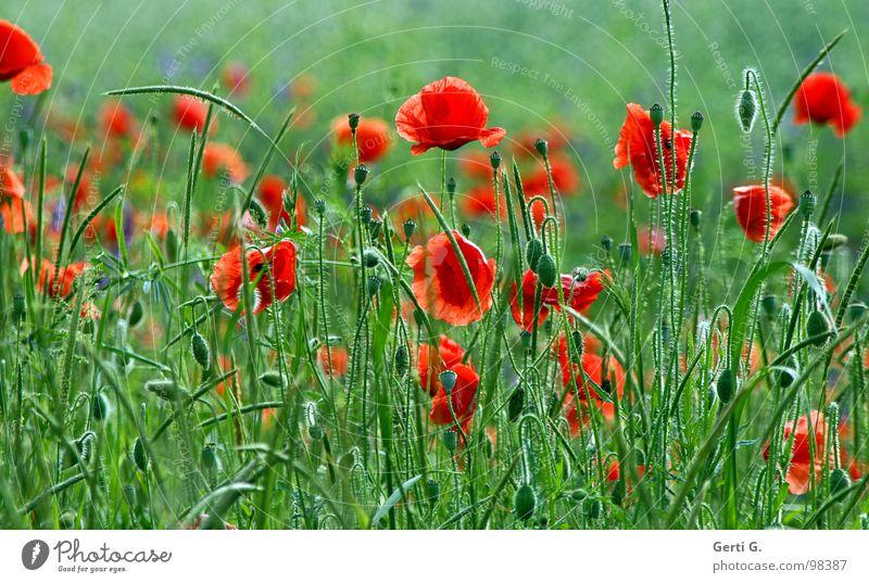 .·~'´¯)¸,ø¤º´¨°¨`º¤ø,¸(¯`'·.¸ frisch fruchtig mehrere Klatschmohn rot zart stachelig offen grün mehrfarbig Blühend Sommer Blüte Grünpflanze Kornblume