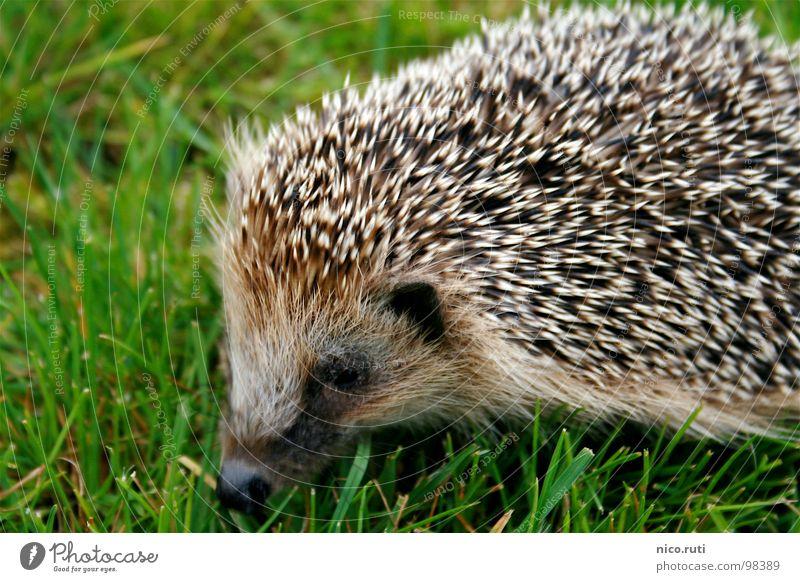 Nadelkissen Igel Tier Wiese Geruch Schnauze Säugetier einrollen Winterschlaf nachtaktiv Stachel